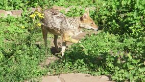 Hungry golden jackal sniffing bushes in forest. Canis aureus golden wolf hunting in national park. Hungry wild golden jackal sniffing bushes in forest. Canis stock video