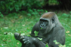 Hungry Gorilla Eating Leaves Royalty Free Stock Image