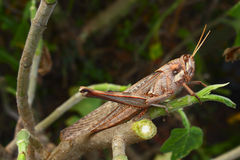 Hungry Grasshopper. A large grasshopper on a recently cut branch Royalty Free Stock Photos
