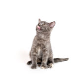 Hungry gray kitten Royalty Free Stock Image