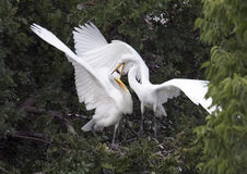 Hungry Great Egret children Royalty Free Stock Images