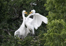 Hungry Great Egret children Stock Images