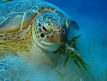 Hungry Green Turtle - Chelonia mydas. Green Turtle - Chelonia mydas eating sea grass Royalty Free Stock Photo