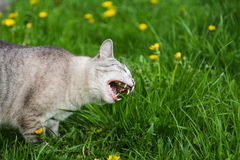 Hungry grey cat eating grass and grazing outdoor Royalty Free Stock Photo