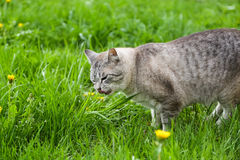 Hungry grey cat eating grass and grazing outdoor Stock Photos
