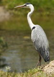 Hungry Grey Heron. Grey heron standing and waiting for food to swim past Stock Image