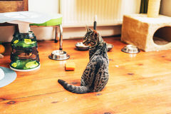 Hungry grey tabby cat sitting waiting for dinner Royalty Free Stock Photography