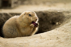 Free Hungry Ground Hog Royalty Free Stock Photos - 67191328