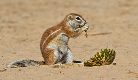 Ground squirrel eating. Hungry ground squirrel eating melon Stock Photos