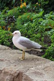 Hungry gull Royalty Free Stock Images