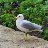 Hungry gull Royalty Free Stock Photography