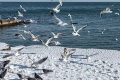 Hungry gulls circling over the winter beach in search of food on. A background of sea and blue sky. Sea birds in flight in search of food Royalty Free Stock Photos
