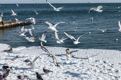 Hungry gulls circling over the winter beach in search of food on Stock Photography