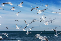Hungry gulls circling over the winter beach in search of food on Stock Images