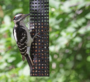 Hungry Hairy Woodpecker Royalty Free Stock Images