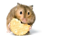 Hungry hamster Royalty Free Stock Image