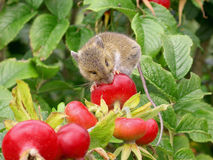 Hungry harvest mouse royalty free stock photo