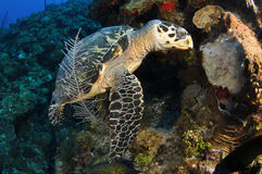 Hungry Hawksbill Royalty Free Stock Image