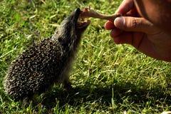 Hungry hedgehog Stock Image