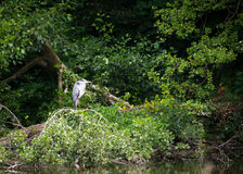 Hungry Heron. Picture of a heron sat by water looking for food royalty free stock photo