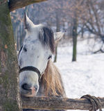 Hungry horse nibbles log Stock Photo