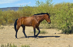 Hungry Horse Trotting in the Desert Stock Photo