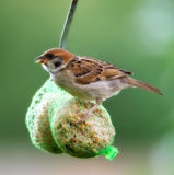 Hungry house sparrow Royalty Free Stock Photos