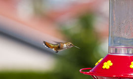 Hungry Hummer Royalty Free Stock Photography
