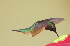Hungry Hummingbird. Hungry Ruby-throated Hummingbird (archilochus colubris) at a feeder Royalty Free Stock Photography