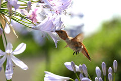 Hungry Hummingbird. A hungry hummingbird sipping the nectar from an Agapantha flower stock image