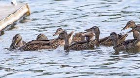 Hungry Hungry Ducks Stock Images