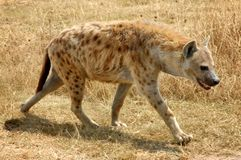 Hungry hyena Stock Photography