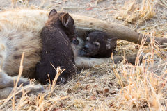 Hungry hyena pups drinking milk from mother suckle Stock Photos