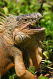 Hungry Iguana Stock Photos