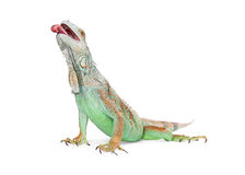 Hungry Iguana Lizard With Tongue Out Royalty Free Stock Image