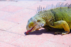 Hungry Iguana Stock Photography