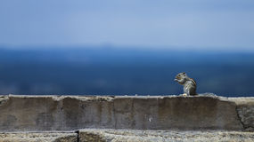 Hungry Indian squirrel eating food on a temple wall Stock Photos