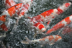Hungry Japanese koi Stock Images