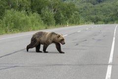 Hungry Kamchatka brown bear walks along an asphalt road royalty free stock photography