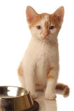 Hungry kitten Royalty Free Stock Photography