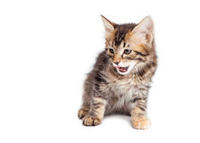 Hungry Kitten Looking Down Tongue Out Stock Photography
