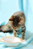 Hungry kitten looking on empty bowl Royalty Free Stock Photo