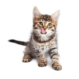 Hungry kitten tongue out licking Stock Photo