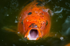 Hungry Koi Begging for Food Royalty Free Stock Images
