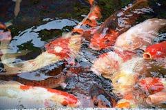 Hungry Koi Fish Royalty Free Stock Photography