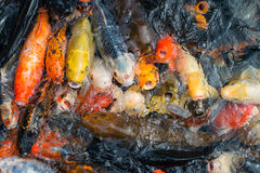 Hungry koi fishes. Royalty Free Stock Photo