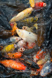 Hungry koi fishes. Stock Image