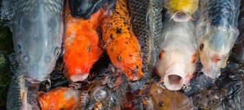 Hungry koi fishes. Stock Photo