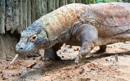 Hungry Komodo Royalty Free Stock Image