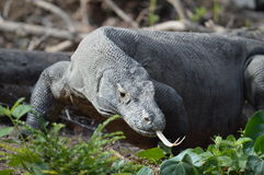 Hungry Komodo Dragon. A large adult Komodo dragon hunts for it's prey by smelling the air with it's tongue Stock Image